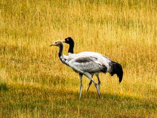 Black Necked Cranes Ladakh